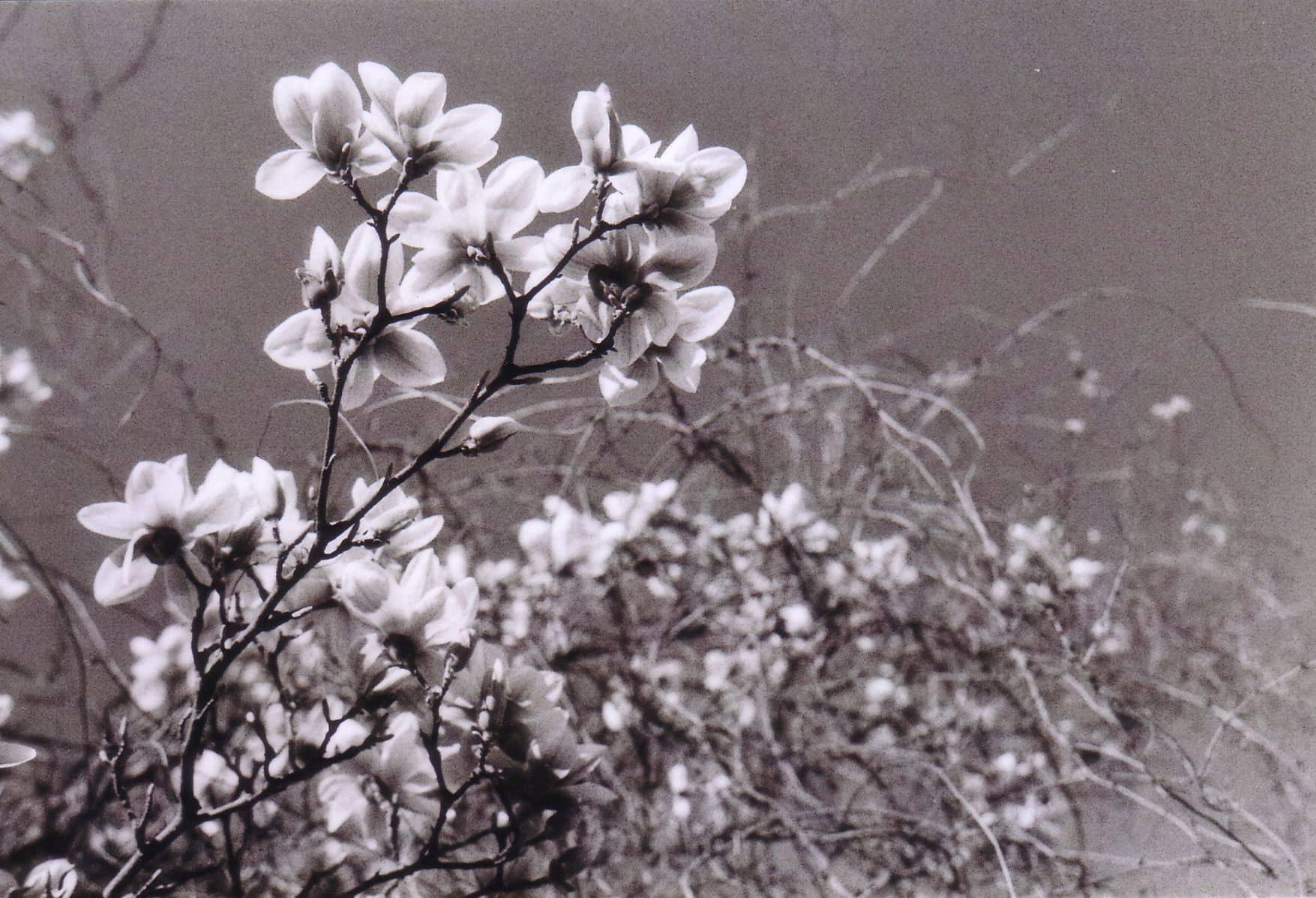 Magnolien - Analoge Fotografie by Nadin Wunderlich